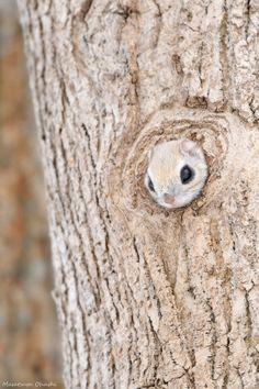 Hi! Russian Flying Squirrel