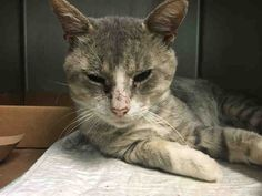 DONNIE - A1088855 - - Brooklyn  ***TO BE DESTROYED 09/12/16*** SECOND CHANCE FOR DARLING DONNIE!! …DONNIE IS PERFECTLY HEALTHY BUT THE ACC WILL STILL KILL HIM BECAUSE THEY CAN……Yes killing healthy adoptable pets is what it seems the ACC does best. DONNIE is only 2 years old and healthy. The only thing he had wrong with him is some flea bites. On his assessment he allowed most petting and loved chin rubs. But he didn't like his back touched so –