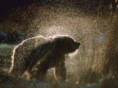Un oso mojado sacudiéndose el agua