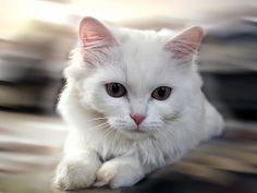 Этот прекрасный мир: Влияние окраса кошки на ее характер