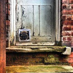 #pug  #pugs  #door  #catflap  #backstep  #backdoor  #grumpy  #cute  #pug #pictures