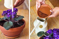 Cette petite plante fait partie de ces fleurs d'intérieur qui peuvent vivre plus de 20 ans et fleurir de façon fidèle. Quelques petits gestes lui permettent de tenir sans mollir.