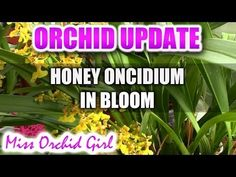 Honey Oncidium orchid in full bloom! - YouTube