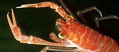 Crustaceans -- Te Ara