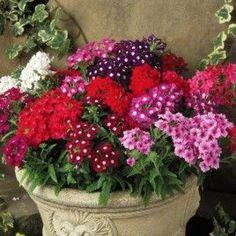 Verveine Romance Mélange Fleurs de jardin facile d'entretien qui se plaisent au soleil. Dans ce mélange de teintes assorties les fleurs vont du blanc rosé au violet en passant par le rose et le rouge, de quoi illuminer vos terrasses et balcons.