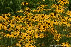Gradually spreading clumps of light green foliage & masses of glorious dark centred orange daisy flowers in summer. Perennial Grasses, Ornamental Grasses, Perennials, Garden Ideas, Coastal, Charlotte, Gardens, Ornaments, Flowers