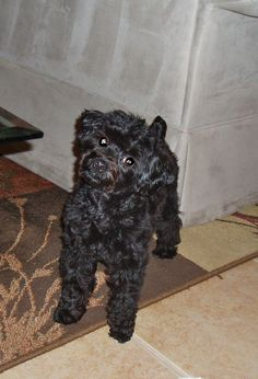 My yorkie poo, his name is Kingston. Complete spaz, but very sweet.