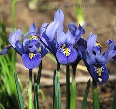 #-neuer Gartentraum- Iris reticulata