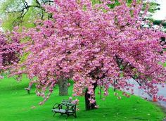 Japanese Cherry Blossom Tree... I love these! I want them in my yard.. My husband probably wouldn't go for it! Lol