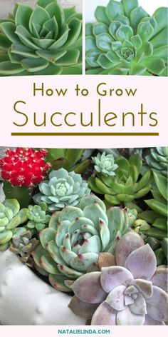 succulent garden care Growing succulents is low-maintenance, if you know what youre doing! Get must-know tips by reading this growing guide so you can avoid the common mistakes people make when planting succulents! Crassula Succulent, Peperomia Plant, Pothos Plant, Succulent Care, Succulent Tattoo, Succulent Pots, Succulents Drawing, Felt Succulents, Propagating Succulents
