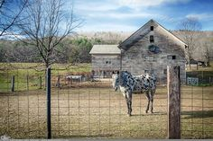 """Picture-A-Day (PAD n.2675) """"Appaloosa""""  I don't know horses, so I'm not sure that's exactly what this one is called. We see it often on our way up to and home from Vermont and I keep waiting for good lighting to get the best picture... today I liked my odds so I went for it...  prints and more: http://www.dangrabbit.com/photography/pad/11_12_appaloosa   .....   Fineart photography - Spotted horse on roadside farm - by Amy DangRabbit Medina"""
