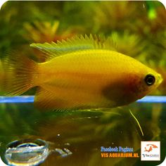 Both male and female Gold Honey Gourami are stunning! Minimum Order of 2 Gold Honey Gourami is required. Nature Aquarium, Aquarium Fish, Community Fish Tank, Fish Ponds, Aquatic Plants, Freshwater Aquarium, Tropical Fish, Betta, Fresh Water