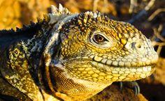 Land Iguana in Galapagos Islands, Ecuador