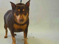SUPER URGENT 07/21/16 Manhattan Center MAYA – A1082064  FEMALE, CHOCOLATE / TAN, MIN PINSCHER MIX, 11 yrs OWNER SUR – EVALUATE, NO HOLD Reason OWNER SICK Intake condition EXAM REQ Intake Date 07/21/2016, From NY 10456, DueOut Date 07/21/2016,