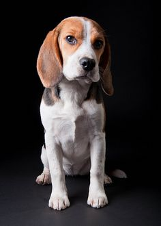 Interesting Beagle Friendly Loyal And Loving Ideas. Glorious Beagle Friendly Loyal And Loving Ideas. Cute Beagles, Cute Puppies, Cute Dogs, Dogs And Puppies, Beagle Puppy, Pitbull Terrier, Dog Friends, I Love Dogs, Best Dogs