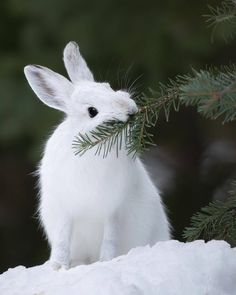 A Snowshoe Hare feeds on an Engelmann spruce branch in British Columbia's Cascade Mountains. Turning a stark white at the onset of winter,… Animals And Pets, Baby Animals, Funny Animals, Cute Animals, Snowshoe Hare, Arctic Hare, Tier Fotos, All Gods Creatures, Cute Bunny