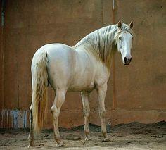 Puro Sangue Lusitano stallion. photo: Olga Itina.