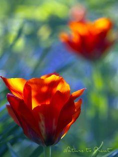 Blumenbild-Kunstdruck und Leinwandbild feuerroten Tulpen