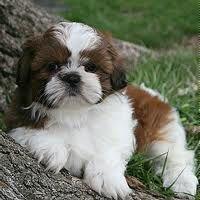 Pets On Lex NYC :: Shih Tzu