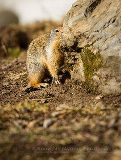 Fun Friday: Peek-a-Boo! Columbian Ground Squirrel (Urocitellus columbianus) in Glacier NP   Show Me Nature Photography