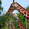 Giraffe Slide Puzzle Game Online. Slide the pieces to create a slide puzzle photo of three hungry giraffes. Play Free Giraffe Slide Puzzle Games.