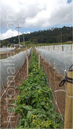 Vineyard, Outdoor, Grow Tomatoes, Vegetables Garden, Vegetables, Square Meter, Mesh, Vegetable Recipes, Plants
