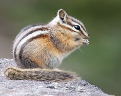 Yellow-pine Chipmunk (Neotamias amoenus) by Ron Fredrick Cute Baby Animals, Animals And Pets, Beautiful Creatures, Animals Beautiful, All Animals Pictures, Squirrel Pictures, Let's Make Art, Water For Elephants, Animal Heads