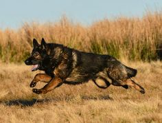 GSD's are the closest dog relatives to the Wolf and boy does this guy look like a Wolf!