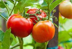Ντομάτα: Πώς να Καλλιεργείς Βιολογικά στην Βεράντα σε 5′ (video)