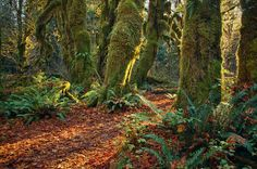 'Hall Of Moss' ~ Olympic National Park, WA  #AaronFuhrman