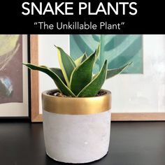 """Snake Plants are known as """"The Unkillable Plant"""" because they can adapt to low light or indirect light and don't require a lot of attention which is perfect for Newbie Plant Lovers or Plant Killers. Modern Planters, Snake Plant, Low Lights, Wonders Of The World, Aloe, Greenery, Planter Pots, Succulents, Lovers"""