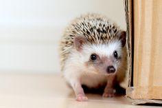 look at teh liddow hedgehog he so cewt! look at his diddow faaaaayce