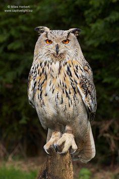 Siberian Eagle Owl (Bubo bubo sibericus)