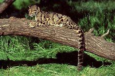 Der Nebelparder (Neofelis nebulosa) ist bedroht, weil er immer weniger...