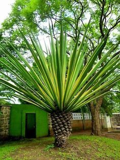 Palm Trees Landscaping Design Ideas To Transform Your Backyard - Unusual Plants, Exotic Plants, Tropical Plants, Palm Trees Landscaping, Succulent Landscaping, Palm Trees Garden, Landscaping Design, Nature Plants, Nature Tree