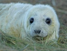 https://flic.kr/p/7gQEFb | Seal Pup | Taken at Donna Nook NNR.Lincolnshire.