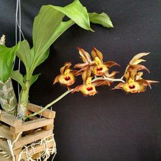 Catasetum altaflorestence