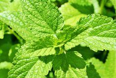 Melisa la planta medicinal que ayuda a tratar el estrés de forma natural es una hierba con propiedades relajantes que ayudan a mejorar la calidad de vida.
