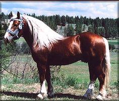 Oberlander Horse Association. German draft breed
