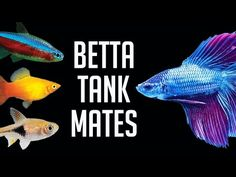 Want to give some company to your Betta Fish? Betta can happily share the tank with other species, but not with all of them. fish tank ideas Betta Tank Mates: The 10 Best Companions for Your Betta Fish Betta Fish Tank Mates, Betta Fish Care, Pet Fish, Fish Fish, 10 Gallon Fish Tank, Small Fish Tanks, Tropical Fish Tanks, Aquarium Fish Tank, Aquarium Setup