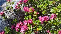 Almrauschblüte auf der NOCKALMSTRASSE im Biosphärenpark Nockberge - kostenfrei mit der inkludierten Kärnten Card 😆 Plants, Destinations, Plant, Planets