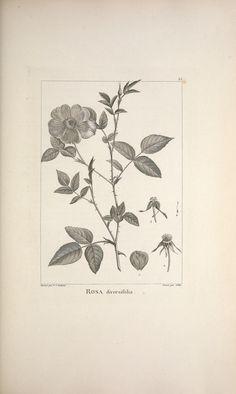https://flic.kr/p/feDfr7 | n154_w1150 | Description des plantes nouvelles et peu connues :. A Paris :De l'imprimerie de Crapelet,an 8, [i.e. 1799 or 1800]. biodiversitylibrary.org/page/42247249