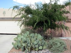 Abq West Mesa residence - front to E, Canyon Hackberry, Sand Sage, Desert Prickly Pear (QUERCUS, 1998)