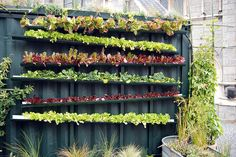 Vertical farming using old gutters/flashing. Water enters from hose at top and zig-zags back n forth down each level.