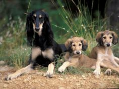 saluki photo | Saluki with Two Puppies Láminas por Adriano Bacchella en AllPosters ...