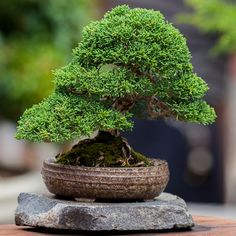 35 Artistic Bonsai Tree Ideas To Beautify Your Garden Buy Bonsai Tree, Japanese Bonsai Tree, Indoor Bonsai Tree, Bonsai Trees, Planting Succulents, Planting Flowers, Succulent Planters, Hanging Planters, Cactus Plants