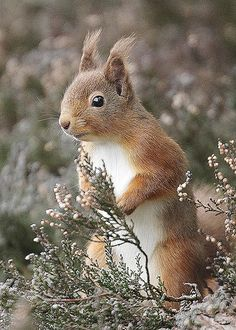 red squirrel | by harrybursell