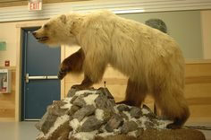 The hybrid offspring are known as pizzlies or grolars; and are becoming more common as the Arctic ice melts.