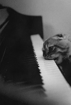 Nom nom nom  This just makes me chuckle!  Is the cat mad at the piano or just really hungry?