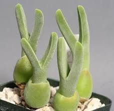 strange looking succulents - Google Search